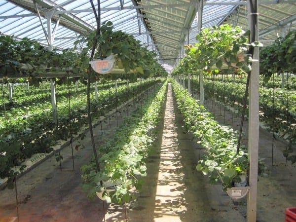 Serre fotovoltaiche coltivate con fragole
