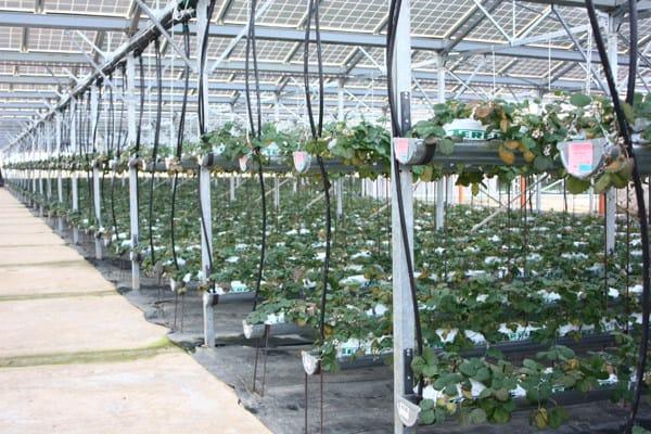 Serre fotovoltaiche per fragole