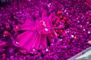 "Shubham Kothavale (India), ""Il festival rosa"" © Shubham Kothavale / Stenincontest.com"