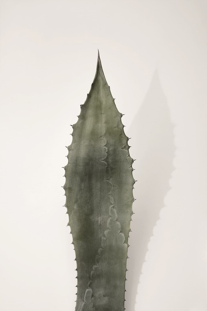 Agave, Color Elements_GSI