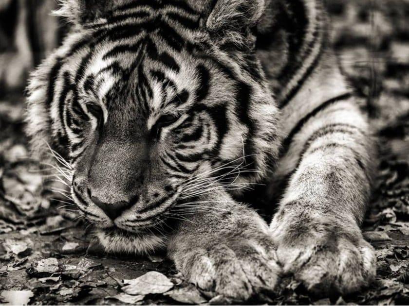 Stampa fotografica LA TIGRE by Artphotolimited