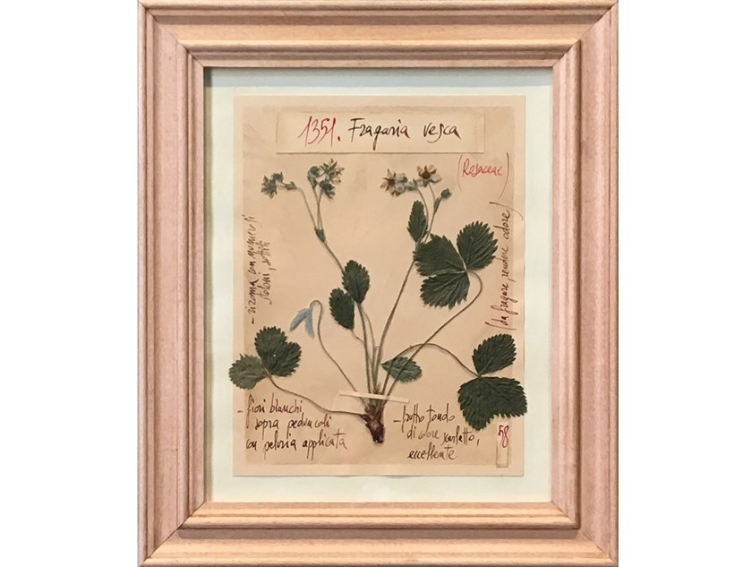 Herbarium with natural flowers and handicraft wooden frame FRAGARIA VESCA by OFFICINA NATURALIS