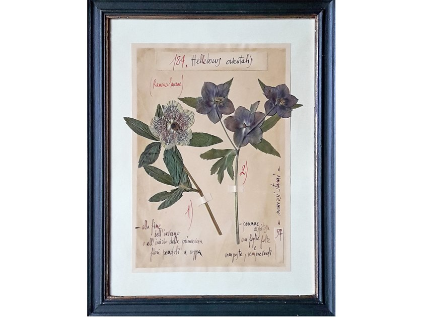 Herbarium with natural flowers and handicraft wooden frame HELLEBORUS by OFFICINA NATURALIS