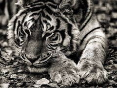 Stampa fotograficaLA TIGRE - ARTPHOTOLIMITED