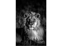 Stampa fotograficaIL RE LEONE - ARTPHOTOLIMITED
