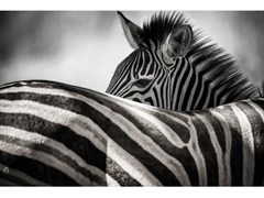 Stampa fotograficaWILD - ARTPHOTOLIMITED